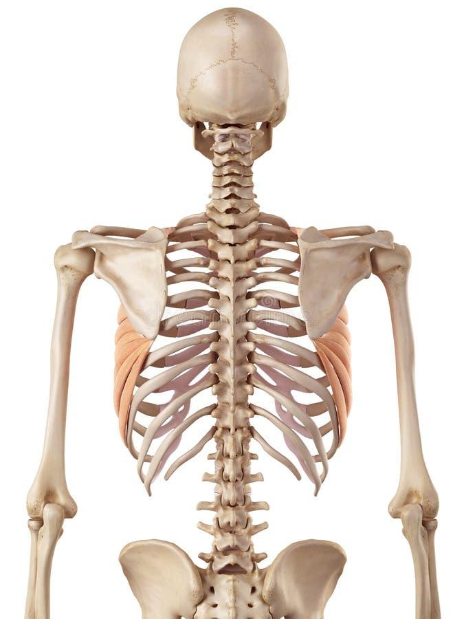 The serratus anterior. Medical accurate illustration of the serratus anterior vector illustration