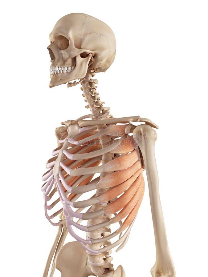 The serratus anterior. Medical accurate illustration of the serratus anterior stock illustration