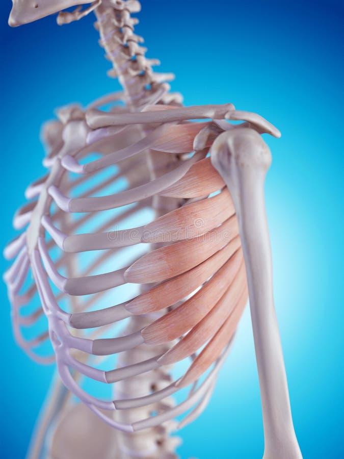 The serratus anterior. Medically accurate illustration of the serratus anterior vector illustration