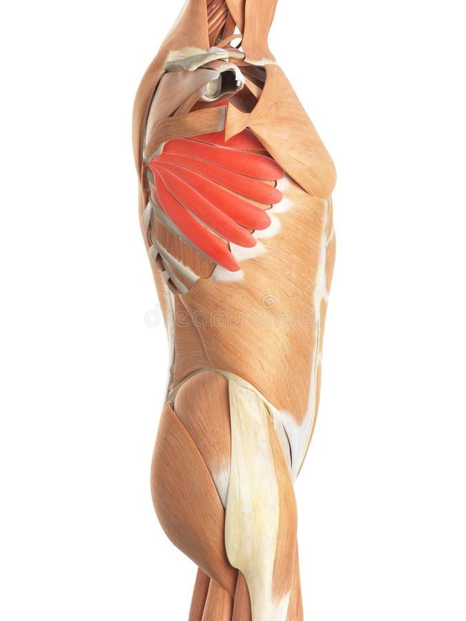 The serratus anterior. Medically accurate illustration of the serratus anterior royalty free illustration