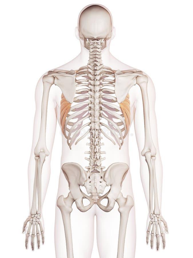 The serratus anterior. Medically accurate muscle illustration of the serratus anterior vector illustration