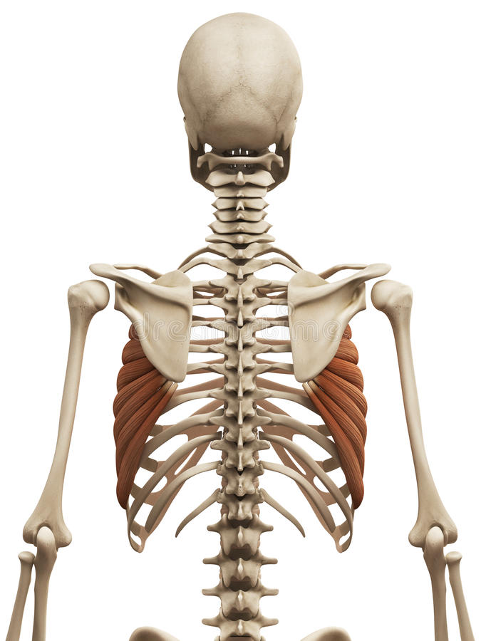 The serratus anterior stock illustration. Illustration of close ...