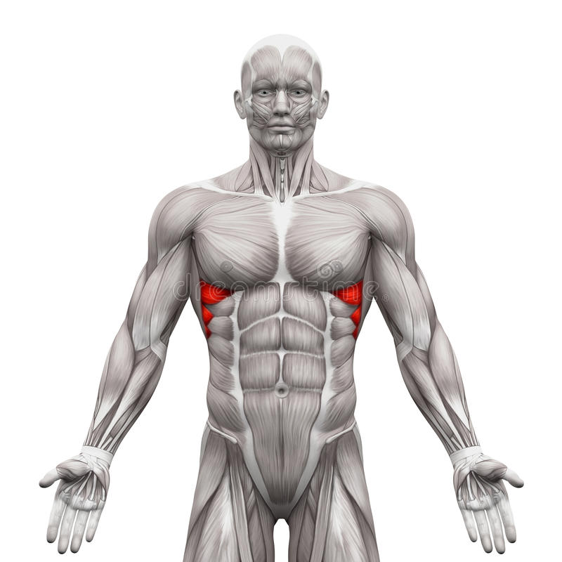 Serratus Anterior Muscles - Anatomy Muscles Isolated On White ...