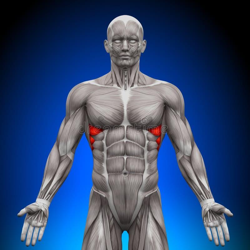 Serratus föregående - anatomimuskler royaltyfri illustrationer