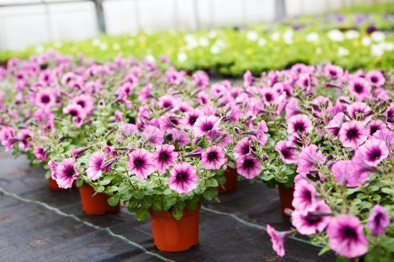 Serre chaude avec les fleurs de floraison de pétunia image stock