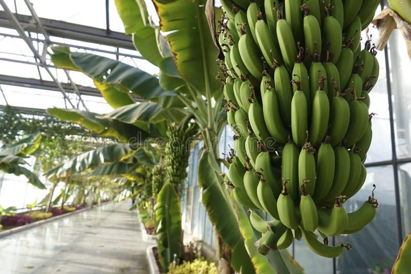 Serre chaude de banane images libres de droits