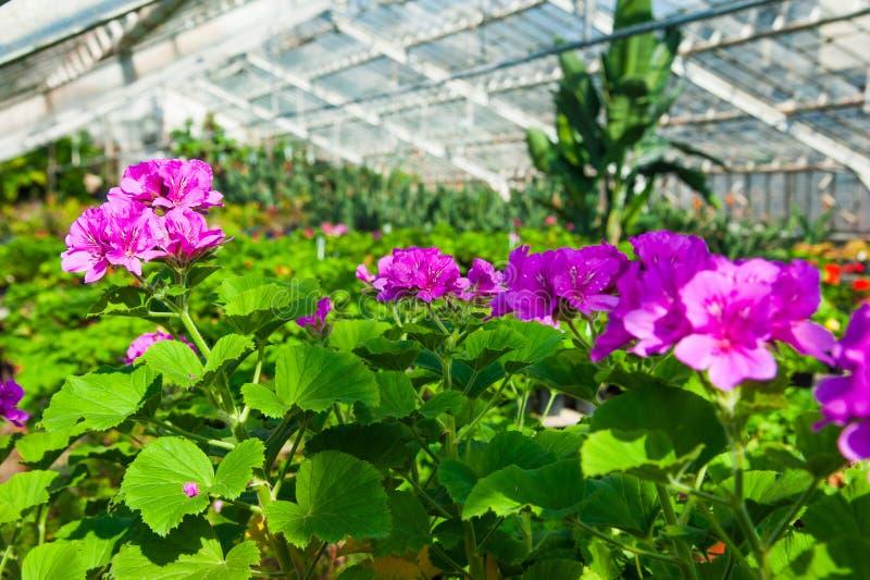 Serre chaude de jardin agrobusiness photo libre de droits