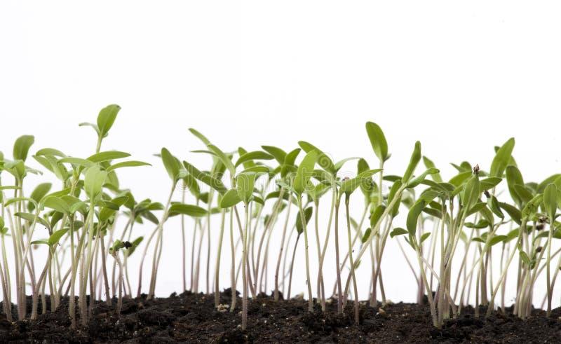 Serre de plantes de tomate d'art au printemps image stock