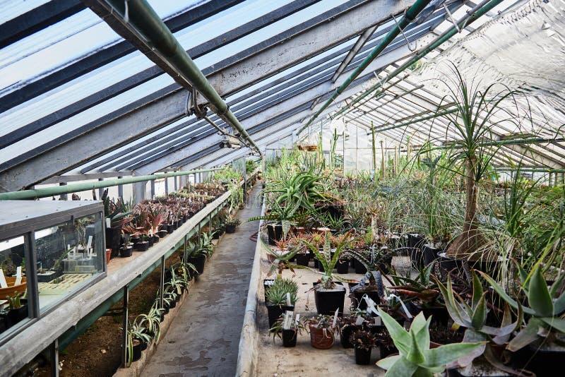 Serre met cactussen Groene succulentscactussen Close-up Achtergrond stock afbeeldingen