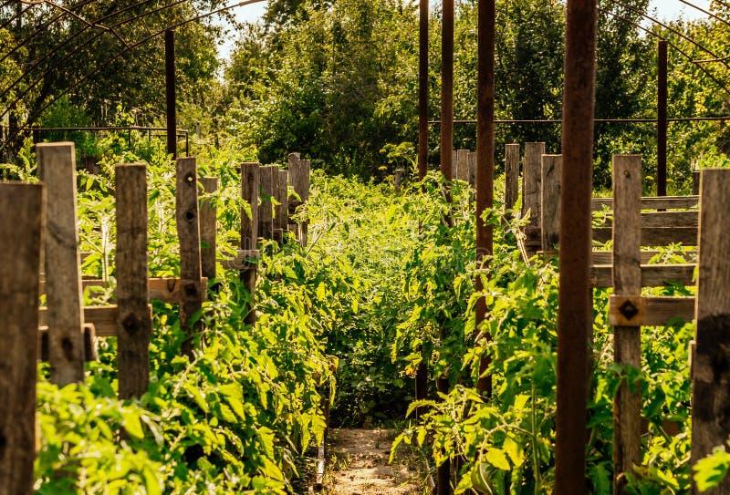 Serre met zaailingen van tomaten royalty-vrije stock foto's