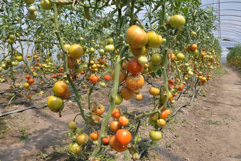 Serre per i pomodori crescenti fotografie stock