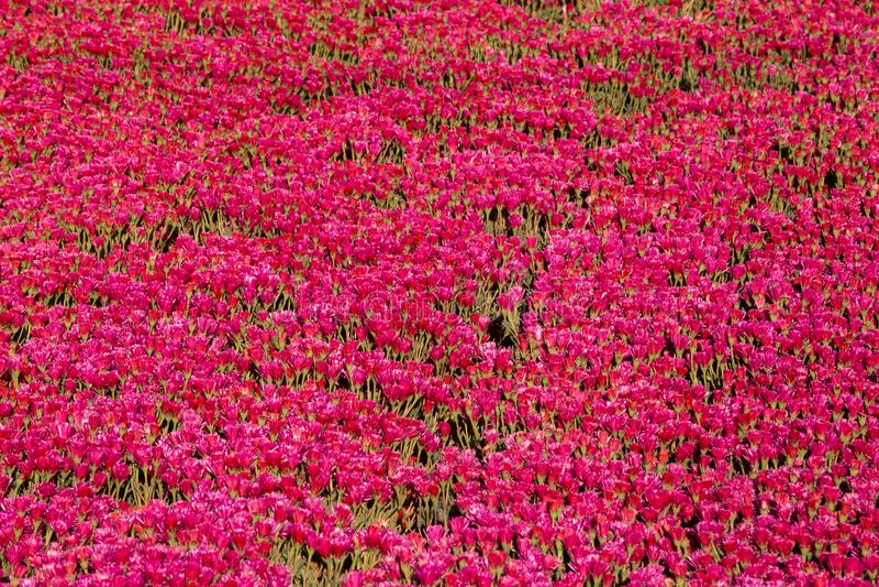 Serrecultuur van Mesembryanthemum Crystallinum royalty-vrije stock afbeeldingen