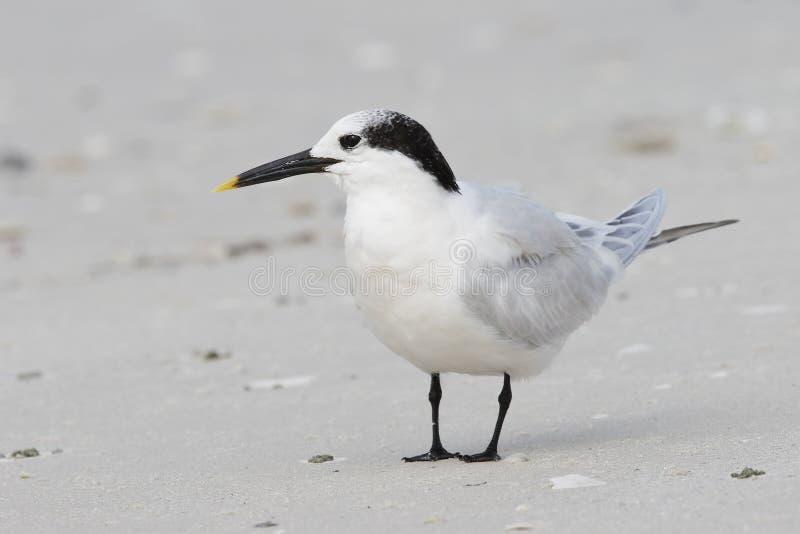 Serrez la sterne dans le plumage d'hiver sur une plage de la Floride photographie stock libre de droits