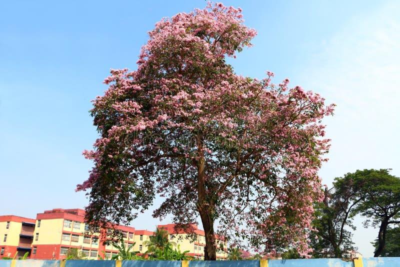 Serrulata или вишневый цвет сливы Сакуры стоковое изображение