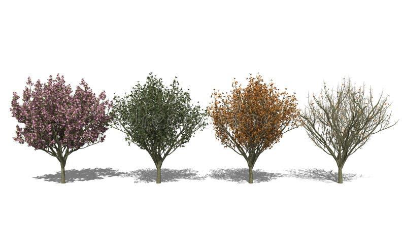Serrulata 'Kanzan' del Prunus (cuatro estaciones) ilustración del vector
