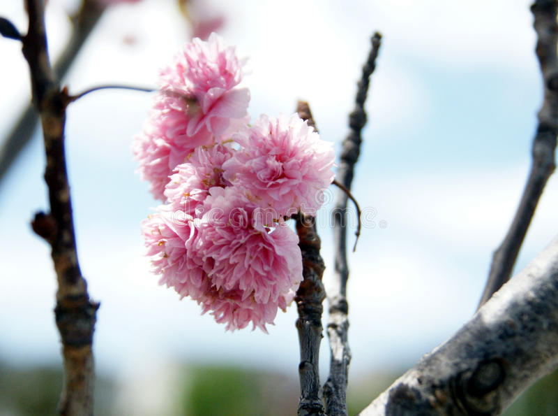 Serrulata 'Kwanzan' del Prunus, cereza de Kwanzan fotografía de archivo libre de regalías