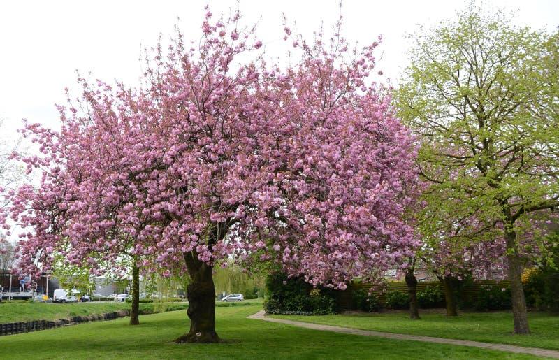 Serrulata van Prunus of Japanse Kers stock foto
