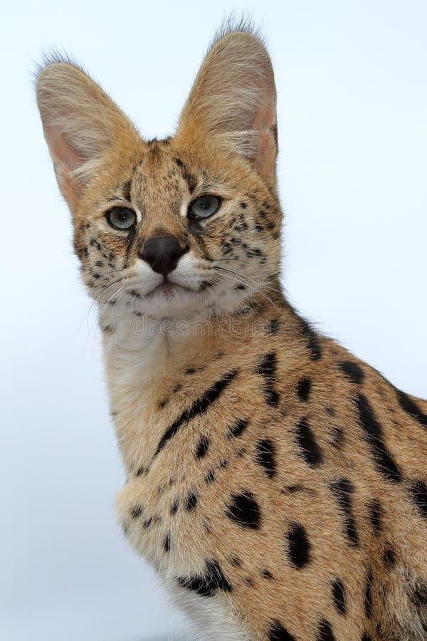 serval кота одичалый стоковая фотография rf