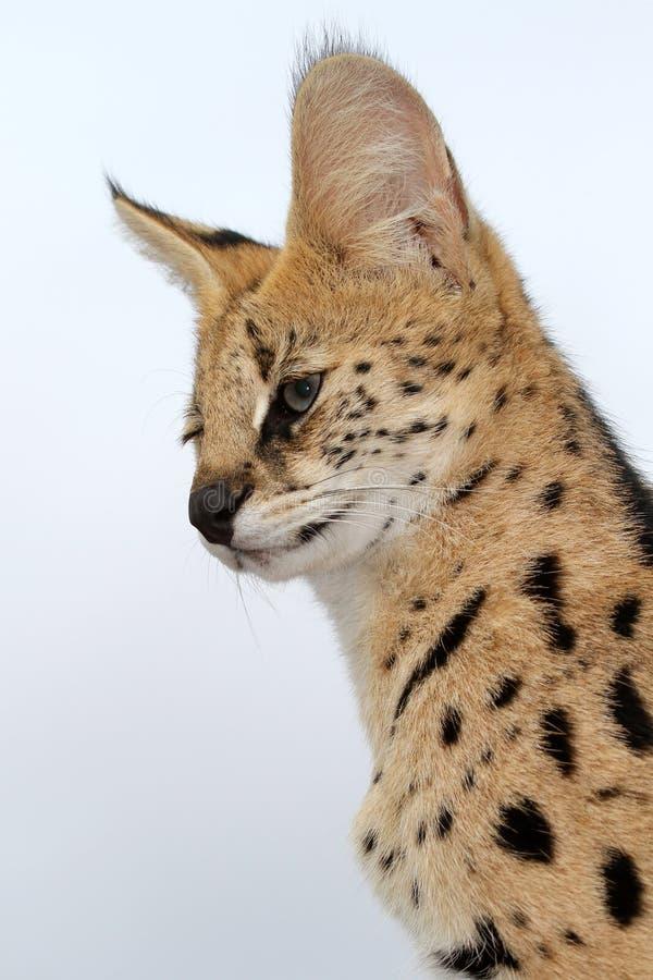 serval кота одичалый стоковая фотография