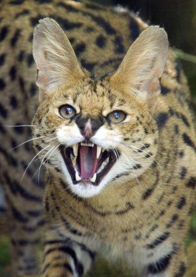 serval arkivfoton