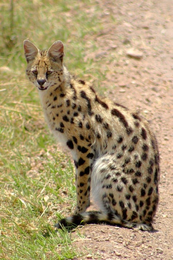 Serval lizenzfreie stockfotografie
