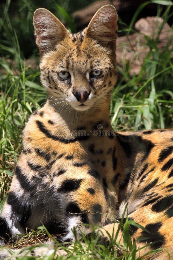 Serval stock fotografie
