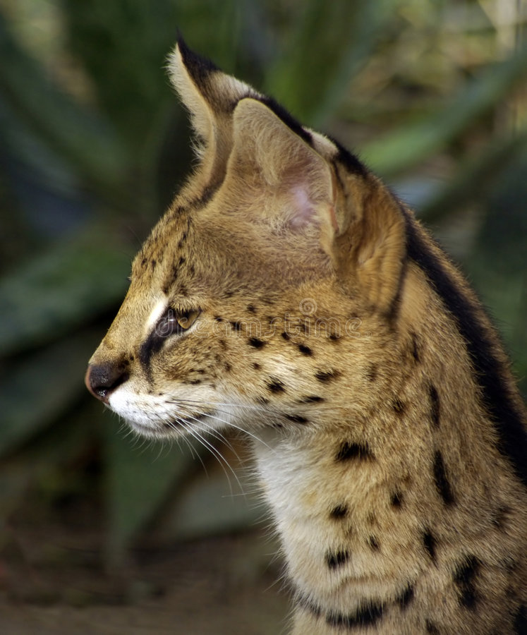 Download Serval stock photo. Image of spots, eyes, feline, wildlife - 8570980