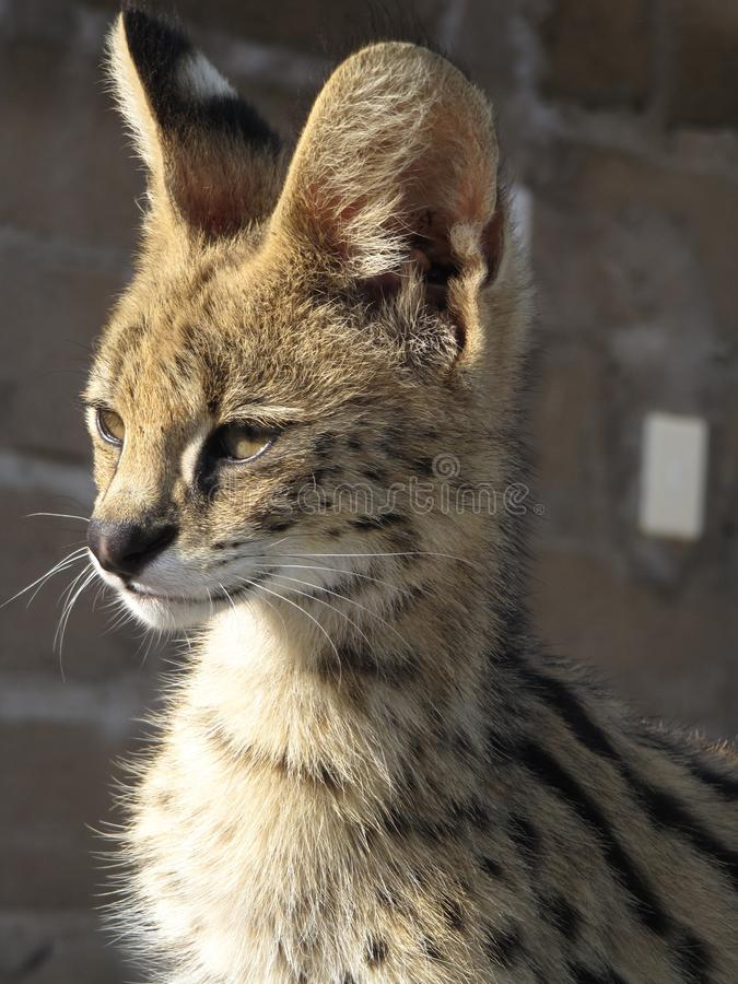 Serval cat royalty free stock images