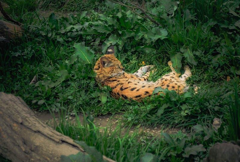Serval die in gras liggen royalty-vrije stock foto's
