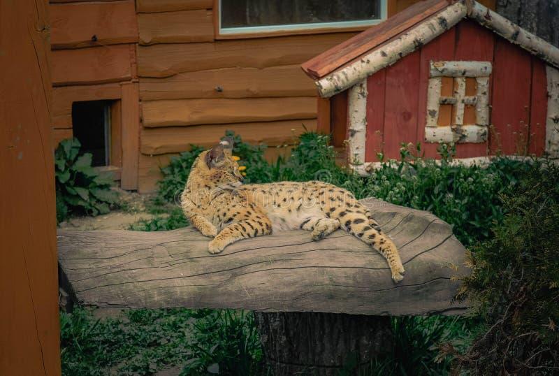 Serval die op een logboek liggen stock afbeelding