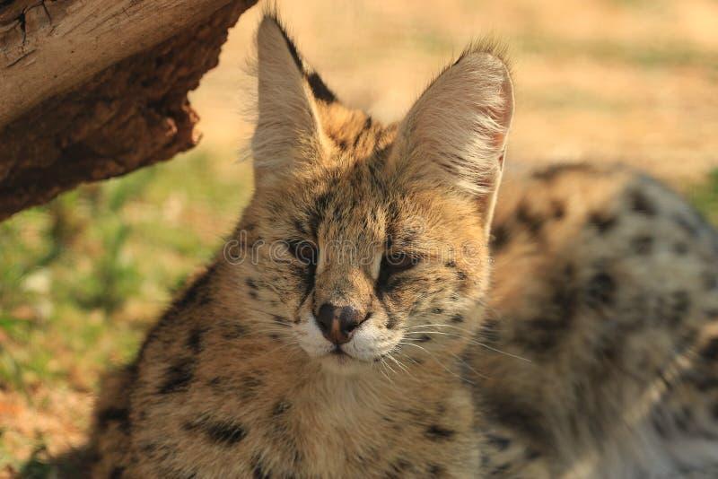 Serval {Felis serval} στοκ εικόνες