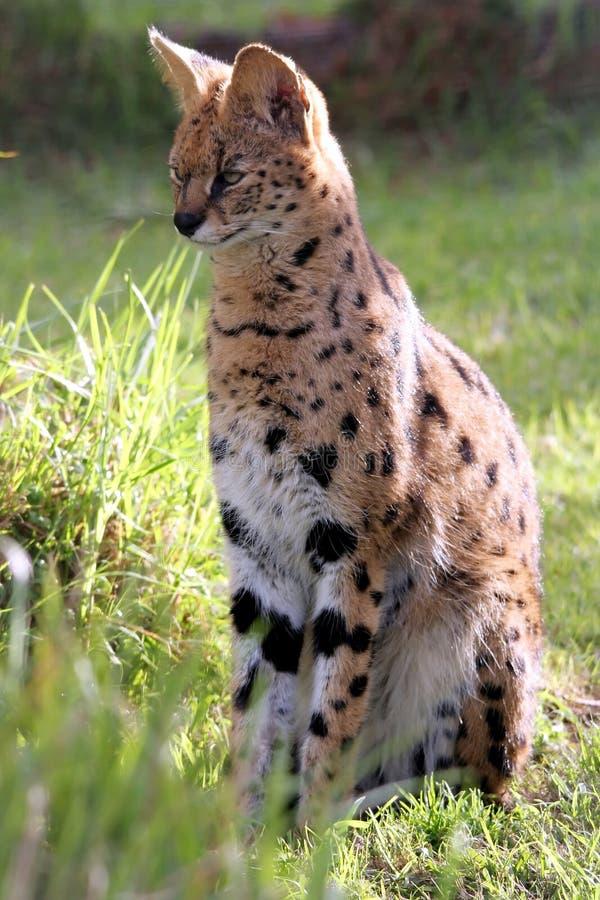 Serval Katze Kaufen