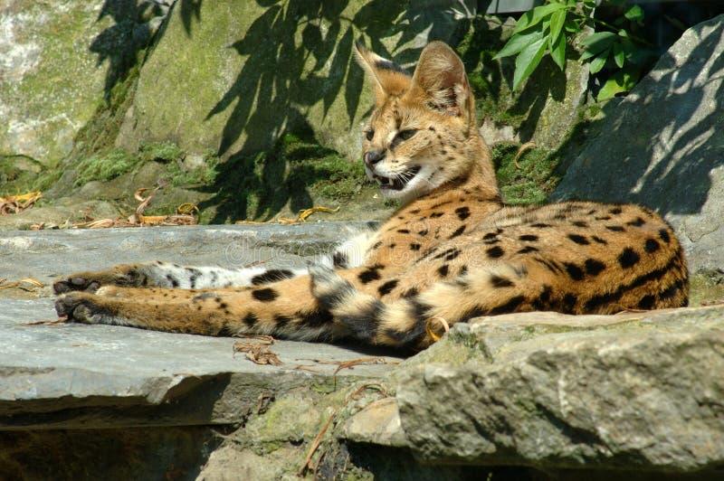 Download Serval, makanu. fotografia stock. Immagine di erba, primate - 219474