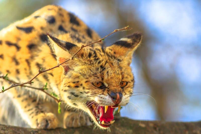 Serval molto arrabbiato fotografia stock