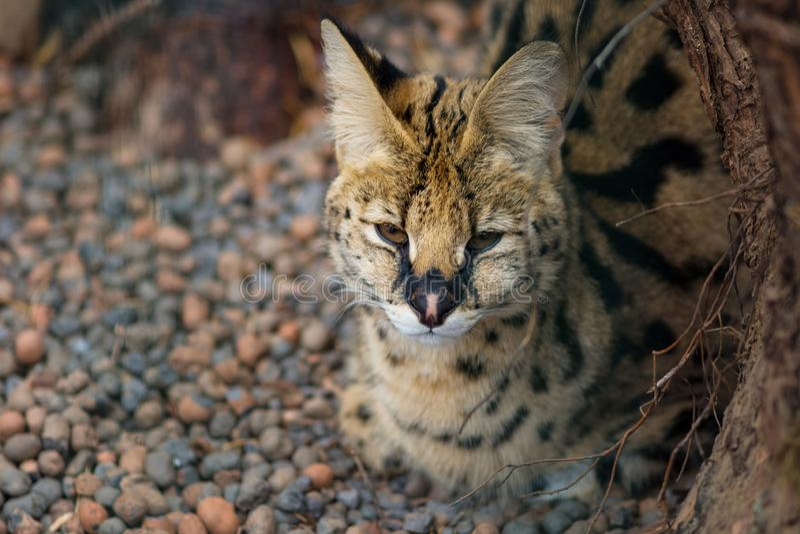 Serval no jardim zoológico, gato selvagem sonolento imagens de stock royalty free