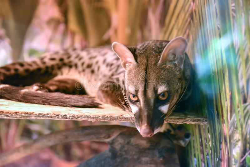Serval no jardim zoológico, gato selvagem sonolento Fundo borrado imagem de stock