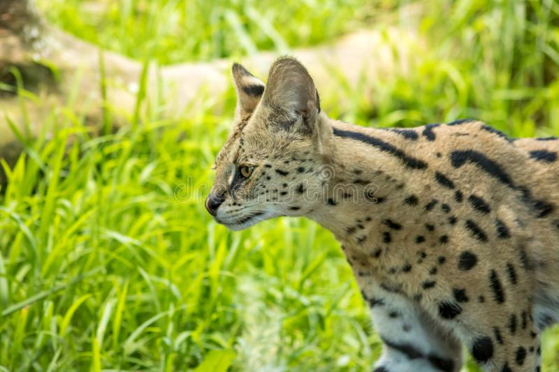 Serval Stalking In Grasslands, Medium Sized Wild Cat. Young Serval, medium sized wild cat searches for food in grass in afternoon stock photography