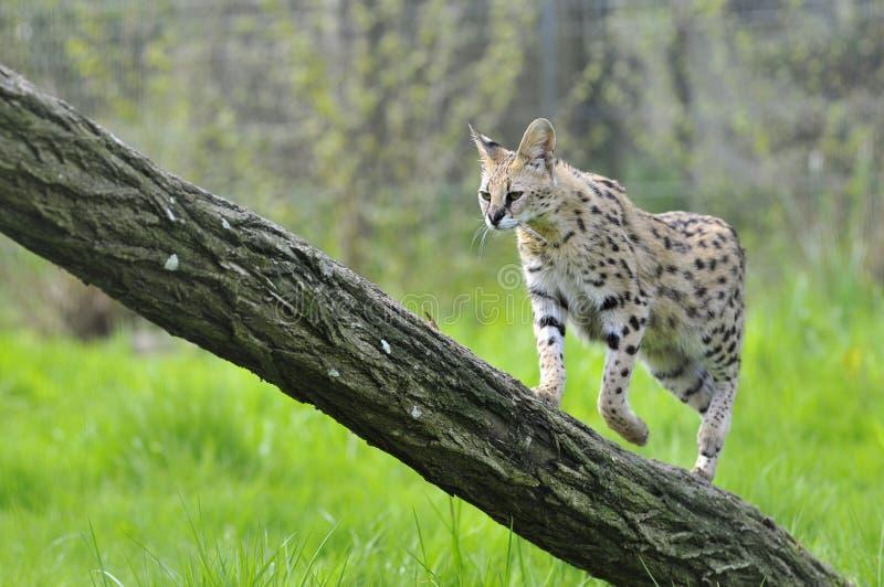 Serval sull'albero del circuito di collegamento fotografie stock libere da diritti