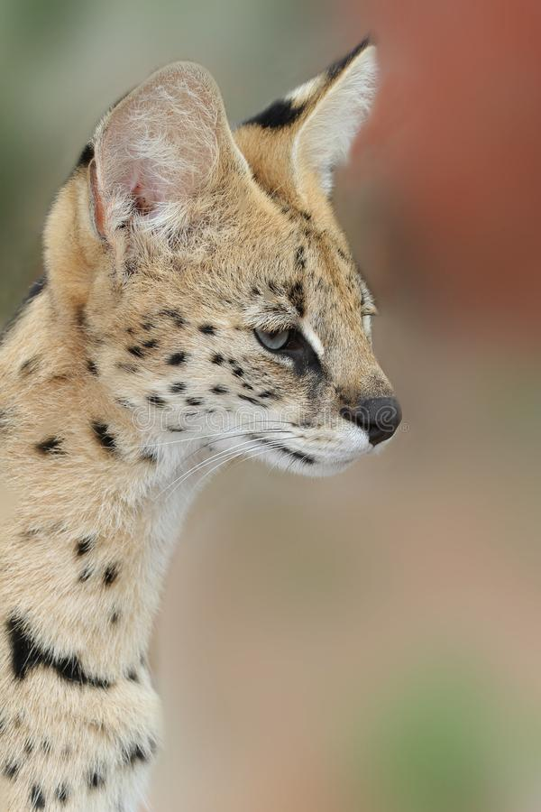 Download Serval Wild Cat stock photo. Image of long, alert, nature - 14729462