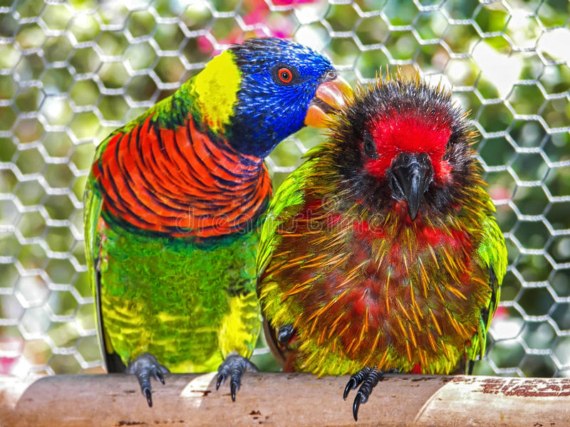 Serviço da limpeza do papagaio fotografia de stock
