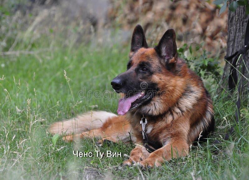 Service dog breed German shepherd, black and red color lies near the tree. Beautiful big shepherd stock image
