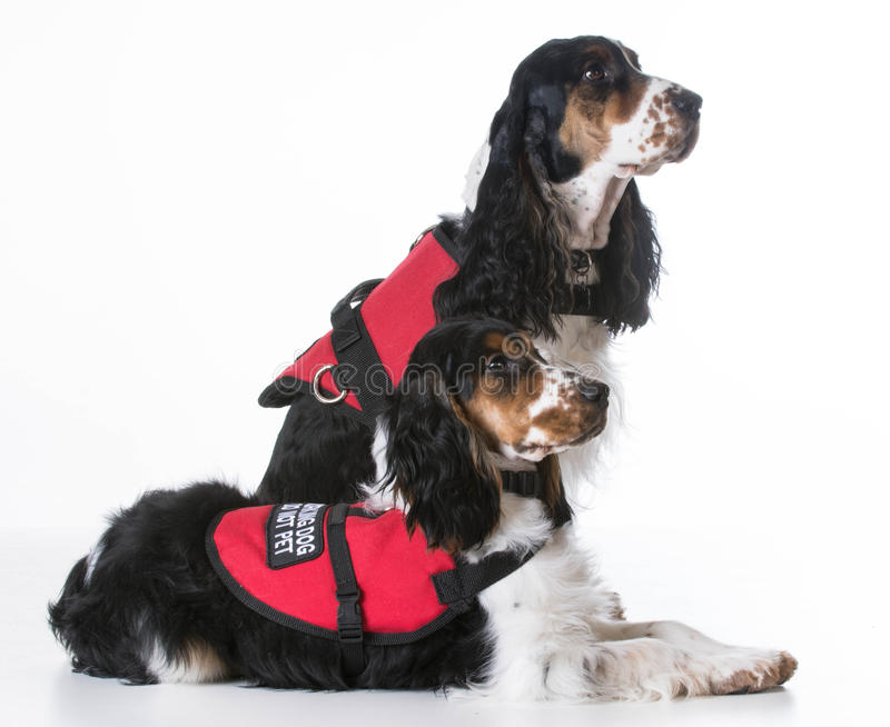 Service dogs royalty free stock photos