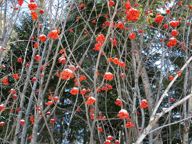 Service tree and snowcovered red berries. There are service tree and snowcovered red berries stock photography