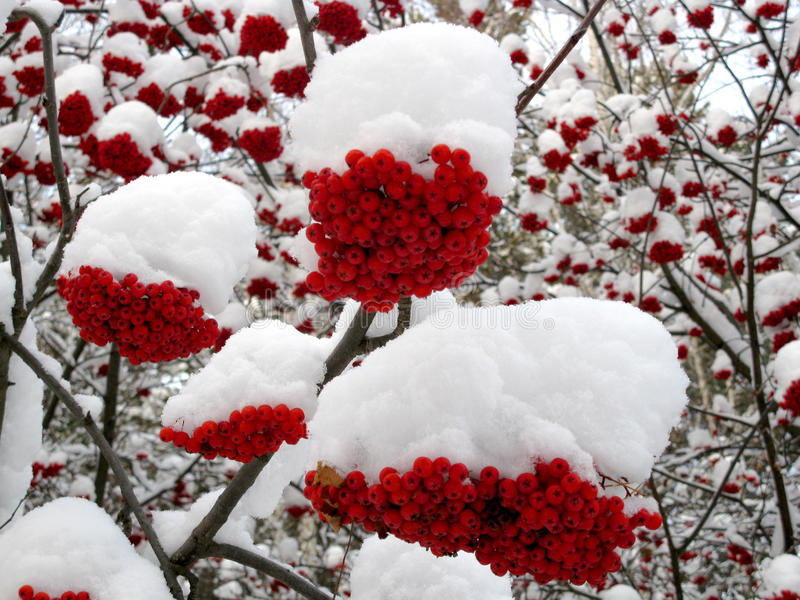 Service tree and snowcovered red berries. There are service tree and snowcovered red berries stock photo