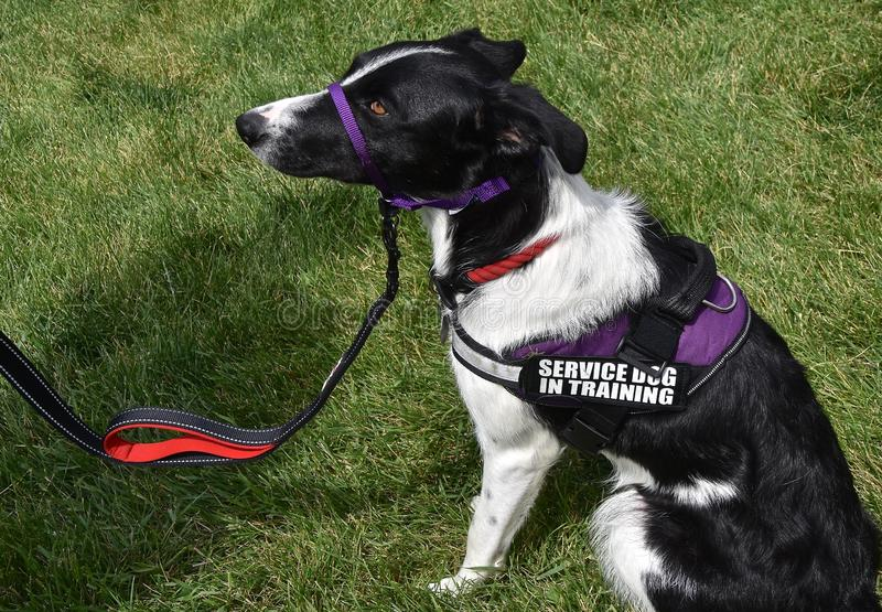 Servicehund i utbildning royaltyfri bild