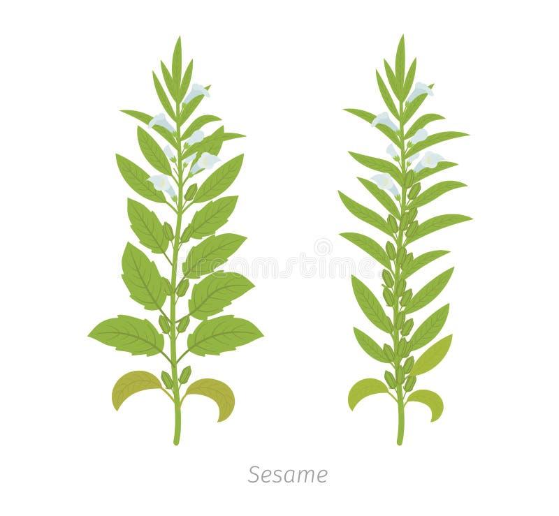 Sesaminstallatie Ook geroepen benne Sesamum Indicum vector illustratie