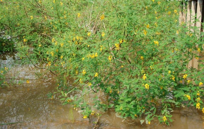 Sesbania dien den sesban busken, dien den gula blomman arkivbilder
