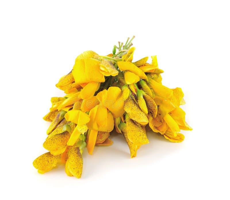 Sesbania grandiflora jadalni kwiaty obraz royalty free