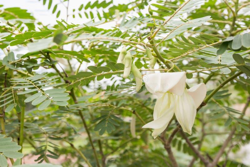 Sesbania grandiflora växt arkivfoto