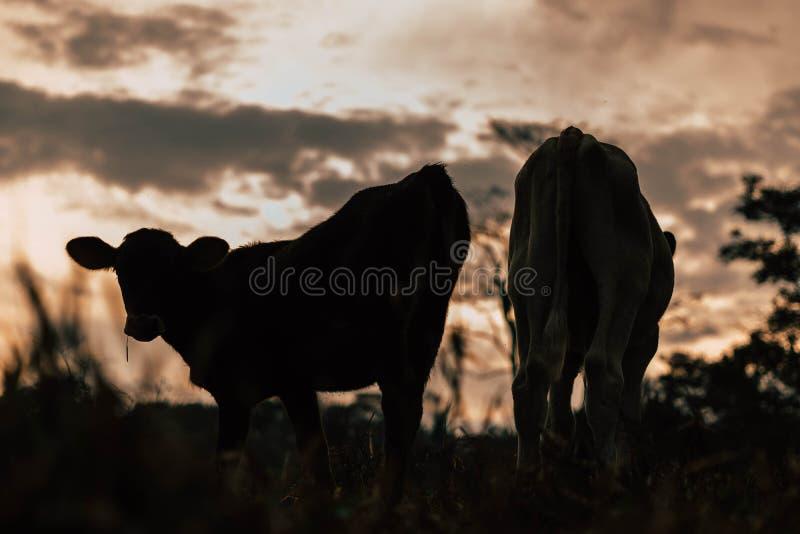 Sessão de foto a três vacas das irmãs durante o por do sol fotos de stock